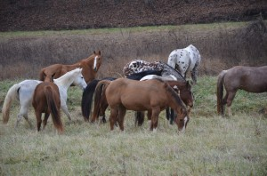 Horses enjoying some r & r on winter pasture.