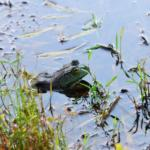 a frog in a pond at Horseshoe Canyon Ranch