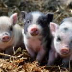 baby piggies at Horseshoe Canyon Ranch